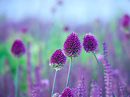 allium flowers how to grow alliums saga