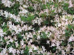 plants native to alabama natural landscapes nursery native azaleas