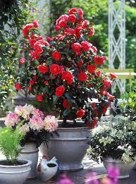 Decorative Trees In India 44 Best Shrubs For Containers Best Container Gardening Plants