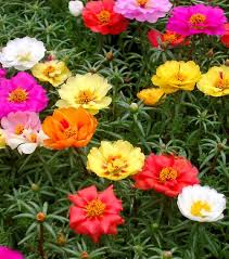 Pictures Of Gardens And Flowers Best 25 Portulaca Grandiflora Ideas On Pinterest Ground Cover