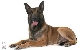 belgian sheepdog allergies is your belgian malinois scared of thunder fireworks being alone