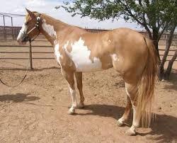 98 best horse color galore framed overo images on pinterest