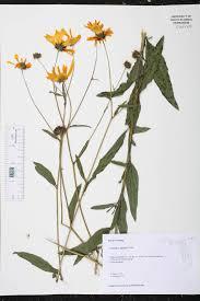 native plants fort myers helianthus agrestis species page isb atlas of florida plants