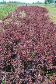 sweet viburnum 200mm pot viburnum 8 best hedging plants images on pinterest hedging plants