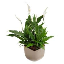 Peace Lily Modern Classic Peace Lily Or White Sail Perfect Plant