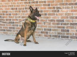 belgian malinois police belgian malinois police dog sitting next to a brick wall stock