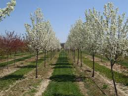 pyrus calleryana redspire redspire ornamental pear paramount