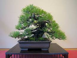 japanese black pine bonsai trees