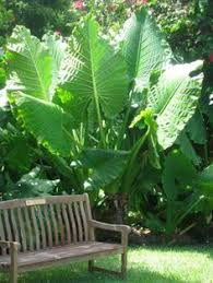 how to grow elephant ears plant love mine and now i know what to