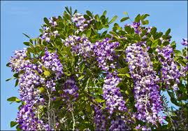 tree with purple flowers mountain laurel flowering portraits of wildflowers