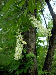 trees with white flowers black cherry prunus serotina flora pittsburghensis