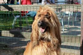 afghan hound breeders europe afghan hound history temperament care training u0026 more