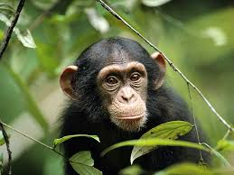 chimp pictures animal wallpapers national geographic