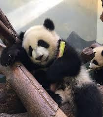 zoo atlanta zooatl panda pinterest zoos