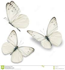 three white butterfly stock image image of background 54289125