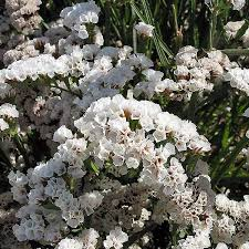 statice flowers statice flower seeds limonium swallowtail garden seeds