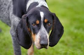 bluetick coonhound song 17 best images about this and that on pinterest puppys bluetick