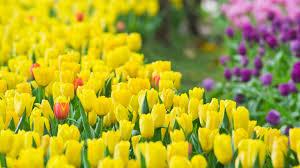tulips flower wallpapers pixelstalk net