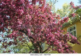 Profusion Flowering Crabapple - purple crabapple stock photos u0026 purple crabapple stock images alamy