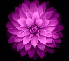 purple flower flower wallpapers new free