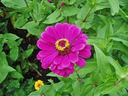 zinnia flower tips for growing and caring for zinnia plants