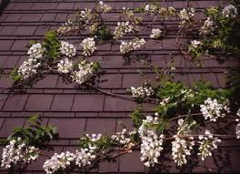 how to grow vines on buildings old house restoration products