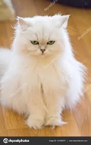 gatti persiani bianchi gatti persiani bianchi â foto stock â rukawajung 131200574