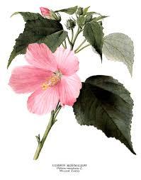 botanical illustration plants illustrations pinterest
