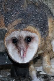 Scientific Name Of Barn Owl Barn Owl Outdoor Alabama