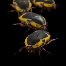scarabs national geographic