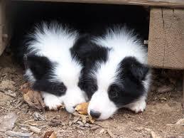 99 names for female border collies scottish irish and welsh dog