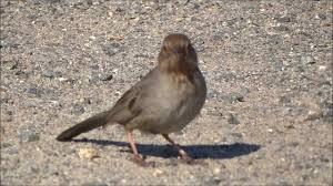birds of orange county california towhee youtube