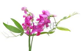 Sweet Pea Images Flower - sweet pea images u0026 stock pictures royalty free sweet pea photos