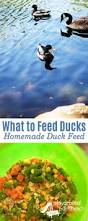 What To Feed Backyard Chickens by Best Tips For Raising Ducks Raising Ducks Homesteads And Farming