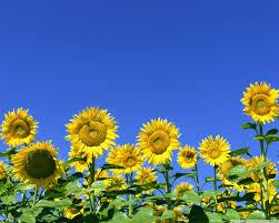 single sun flower wallpapers sunflower field 4k hd desktop wallpaper for 4k ultra hd tv