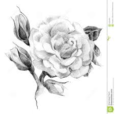 rose flower drawing pencil drawing collection