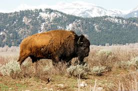 Bison Connect Department Of Interior Honoring An American Icon With National Bison Day U2013 National