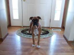 boxer dog 10 months lucy the boxer puppy 6 months old feb 8th youtube
