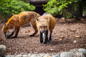 free images wildlife zoo fauna red fox wild animal
