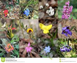 australian native plants pictures collage of south west australian native plants stock photo image