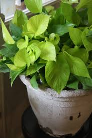 Office Plant Decoration Kl by 56 Best Pothos Images On Pinterest Houseplants Indoor Plants