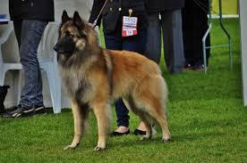 belgian sheepdog virginia belgian tervuren