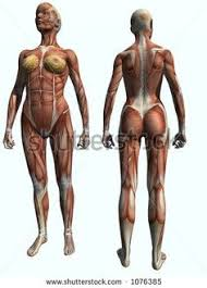 Human Anatomy Muscle Female Front Torso Muscles Makeup And Beyond Meshes