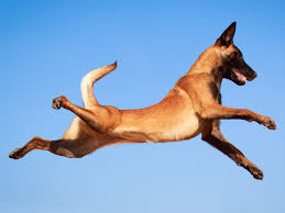 belgian malinois dog america u0027s most energetic dog breed comes from belgium business