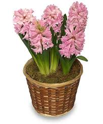 blooming plants potted hyacinth 6 inch blooming plant all house plants flower