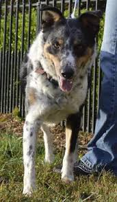 australian shepherd cattle dog mix looks like my puppy she is an australian shepherd blue heeler mix