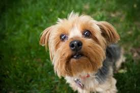 bichon frise vs yorkie hypoallergenic dog breeds for those allergic to dogs