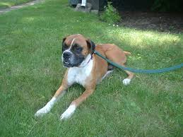 boxer dog rescue available dogs new life boxer rescue