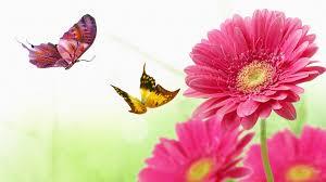 flowers butterflies daisy persona gerber daisies butterfly bright