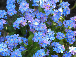 forget me not stock image image of botanical small garden 252169